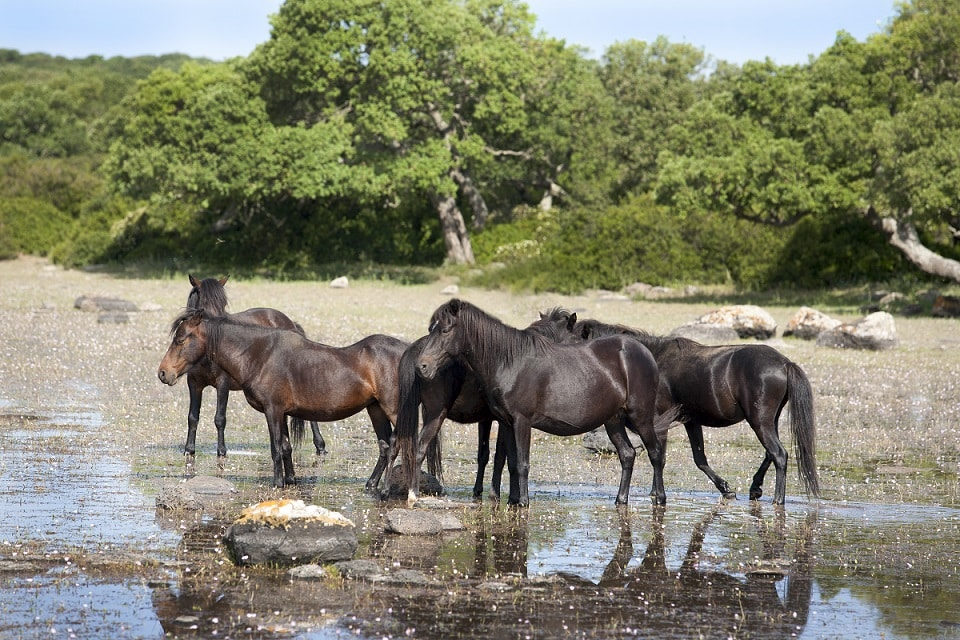 Eine Gruppe kleiner Giara-Pferde, die einzigen Wildpferde in Europa